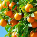 naranciye